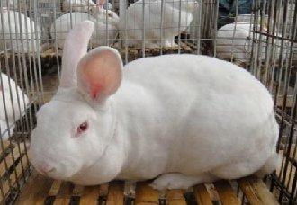 兔子拉稀怎么办?兔子拉稀的症状