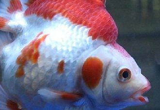 金鱼失鳔病怎么办?金鱼失鳔病的预防方法