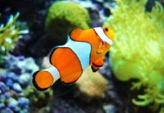 小丑鱼可以混养吗?小丑鱼的养殖方法