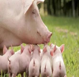 夏天养猪防病技术要点有哪些?