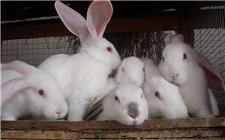 <b>连续高温谨防兔子中暑 兔子中暑的救治方法</b>