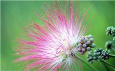 怎么才能养好合欢花?合欢花的养护技巧