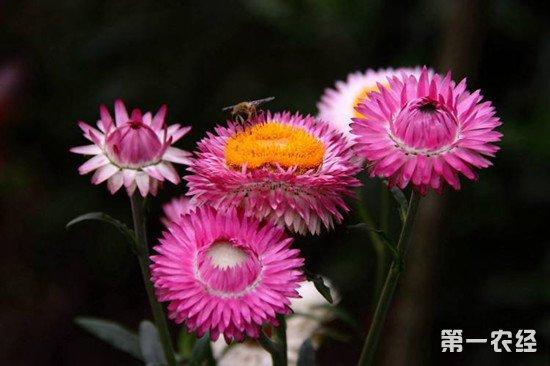 麦秆菊的生长习性和养护注意事项