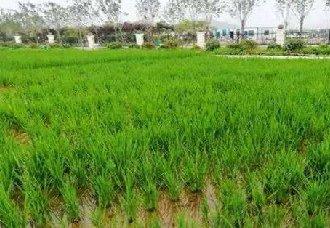 青岛海水稻开展试种试验 多个试验基地同时插秧