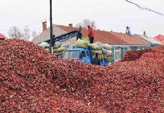内蒙古开鲁县:椒农已全面展开干椒移栽 预计移植50万亩