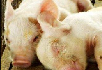 仔猪水肿病怎么办?仔猪水肿病防治方法