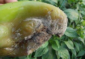 辣椒灰霉病怎么办?辣椒灰霉病的防治方法