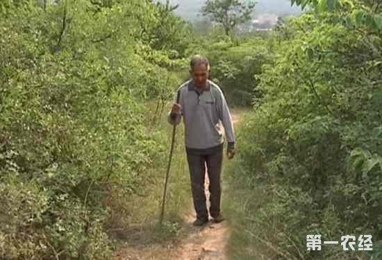 河南禹州大量甜杏滞销 已经掉落满地踩烂无数