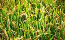 农业科技:英美科学家研究发现基因技术有望提高农作物产量!