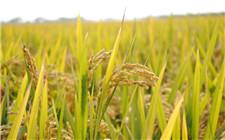 """内蒙古建""""数码农场"""" 进行水稻分子育种"""