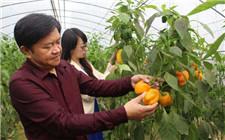 北京展开首次连栋温室甜椒生产实验 每平米产量达20公斤