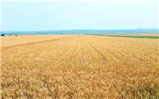 河南省唐河县小麦良种率达100% 农民增产又增收