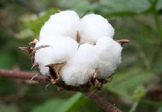 棉花要怎么平衡施肥?棉花平衡施肥五技术