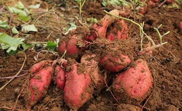 红薯得了软腐病要怎么办?红薯软腐病的防治要点