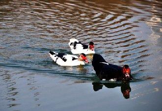 <b>鸳鸯鸭有哪些生长习性?鸳鸯鸭的养殖技术</b>
