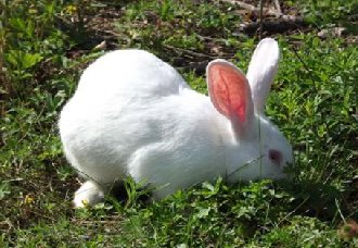 <b>獭兔要怎么饲养?獭兔饲养注意五要点</b>