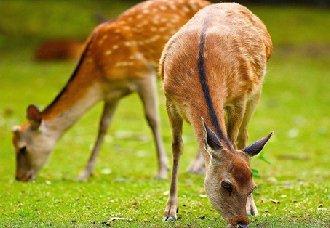<b>养殖梅花鹿需要具备什么条件?养殖梅花鹿的条件</b>