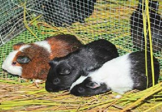 黑豚鼠常见的体内寄生虫有哪些?有什么防治方法?