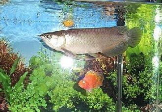 龙鱼可以喂哪些食物?龙鱼喂食的选择