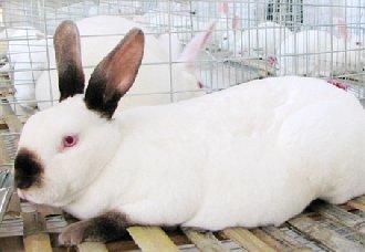 怎么提高肉兔的养殖效益?肉兔的养殖方法