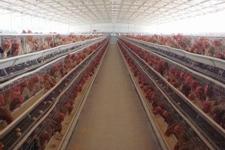 青年鸡规范升级,打造健康市场之路
