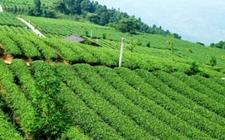 漳州:本土茶叶远销国外 出口量连续上升!