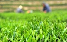 贵州:茶叶产量稳中有升 贵州春茶今年不贵了!