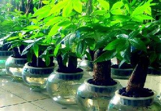 发财树要怎么水培?发财树水培的注意事项