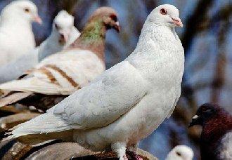 <b>童鸽要怎么喂养?喂养童鸽的技术</b>