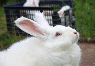长毛兔要怎么配种?长毛兔配中前的准备工作
