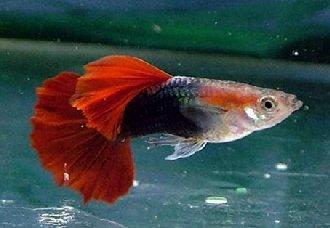<b>凤尾鱼是怎么繁殖的?凤尾鱼繁殖期间要注意什么?</b>