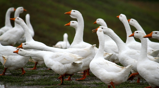 常见的蛋鹅品种有哪些?蛋鹅养殖技术