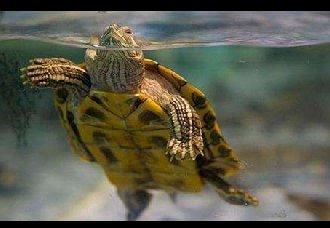 <b>人工可以养殖乌龟吗?人工养殖乌龟的方法</b>