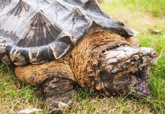 鳄鱼龟怎么养才好?鳄鱼龟的公母分辨