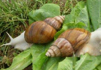 白玉蜗牛常见的疾病有哪些?白玉蜗牛疾病防治方法