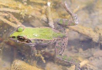 在稻田里怎么养青蛙?青蛙的养殖技术