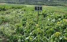 滦平县:种植中药材走上脱贫致富好道路