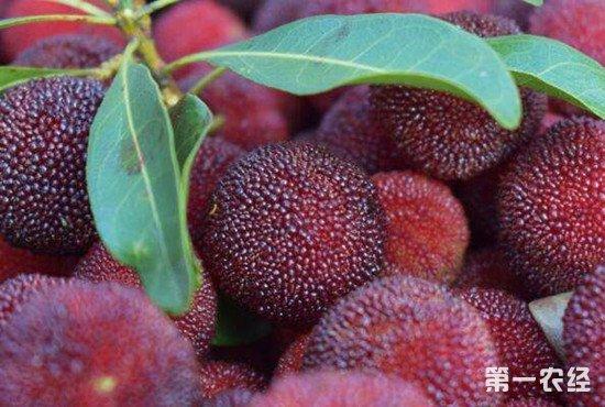 """多种水果被传有""""蛆虫""""?专家解读为无害果蝇幼虫"""