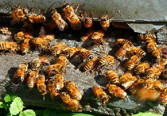 <b>蜜蜂白垩病要怎么防治?蜜蜂白垩病的防治方法</b>