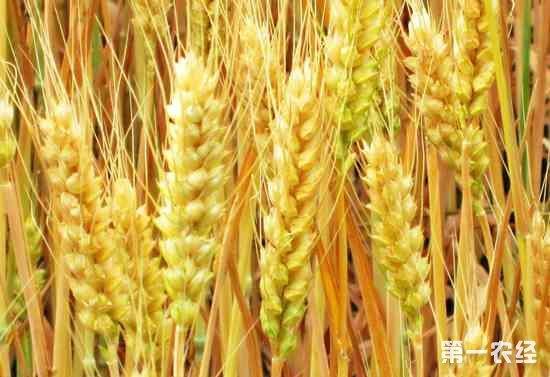 神秘国度土库曼斯坦进入小麦收割期