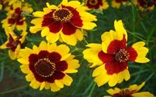 如何种植蛇目菊?蛇目菊的种植方法及习性