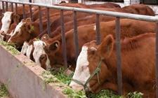 怎样进行养牛场的选址?养牛场的选址和建筑布局