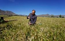西藏:推广的青稞新良种将成为未来第一主导品种