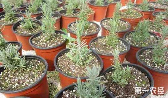 薰衣草可以盆栽吗?薰衣草的盆栽种植方法