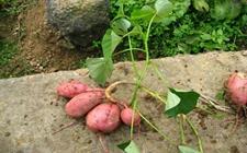 河南省孟津县:红薯种植成产业 帮农脱贫又致富