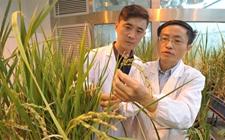 葡京网址喜讯:我国科学家首次揭秘水稻自私基因!