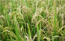 """中国科学家在水稻中找到""""自私基因"""" 有望解决水稻杂种不育问题"""