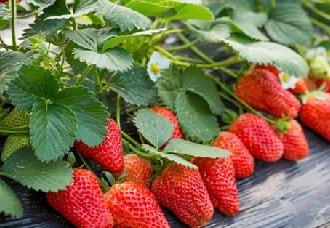 草莓为什么会烂根?草莓烂根的解决方法