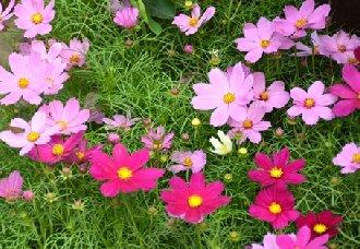 波斯菊要怎么种?波斯菊的种植方法