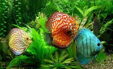 七彩神仙鱼常见的寄生虫疾病有哪些?七彩神仙鱼的寄生虫疾病防治方法